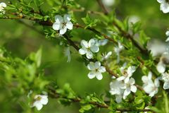Apricot tree blossom close up. In the springtime Stock Photography