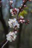 Apricot tree blossom Royalty Free Stock Photos