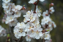 Apricot tree blossom Stock Photography