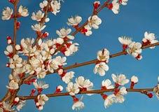 Apricot tree blossom Royalty Free Stock Photography
