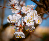 Apricot tree blossom flower on blue sky Stock Photography