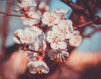 Apricot tree blossom flower on blue sky Stock Image