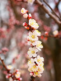 Apricot tree blossom flower on blue sky. Royalty Free Stock Image