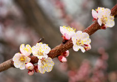 Apricot tree blossom flower on blue sky. Royalty Free Stock Photography