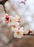 Apricot tree blossom flower on blue sky. Royalty Free Stock Photos