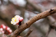 Apricot tree blossom flower on blue sky. Stock Photography