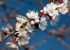 Apricot tree blossom Stock Images