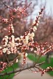 Apricot tree blossom flower. Royalty Free Stock Photo