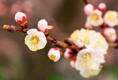 Apricot tree blossom flower. Royalty Free Stock Photos
