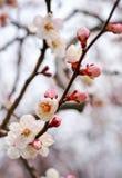 Apricot tree blossom flower. Stock Image