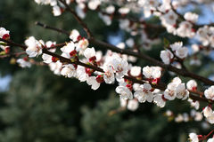 Apricot tree blossom flower Stock Images
