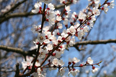 Apricot tree blossom flower Royalty Free Stock Photography