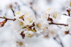 Apricot tree blossoms royalty free stock images