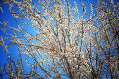Apricot tree blossoms. On sky background Royalty Free Stock Photos