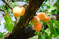 Apricot Tree Branch Stock Image