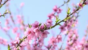Apricot tree branch blossoming stock video footage