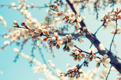 Apricot tree branch covered with flowers in spring. Toned image. Vintage folm color Stock Images