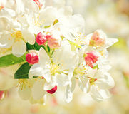 Apricot tree branch with flowers in early spring Stock Photo