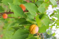 Ripe apricot on the branch royalty free stock photo