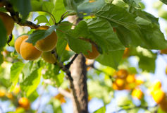 Apricot tree branch. Stock Photos