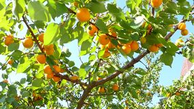 Apricot Tree Branch stock footage