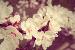 Apricot tree branch with white flowers on blurred background. Selective focus. Royalty Free Stock Images