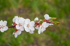 Apricot tree branch with white flowers. Stock Image