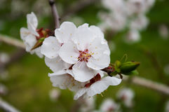 Apricot tree branch with white flowers. Stock Images