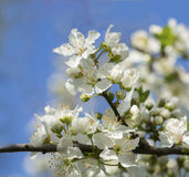 Apricot tree branch with white flowers in early spring Stock Photography