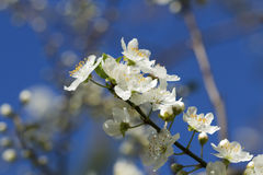 Apricot tree branch with white flowers in early spring Royalty Free Stock Photography