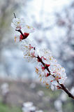 Apricot tree branch with white flowers. Royalty Free Stock Image
