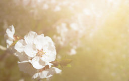 Apricot tree branch with white flowers and sun. Royalty Free Stock Image