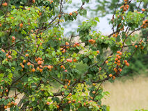 Apricot tree with branches full of many ripe fruits Stock Photo