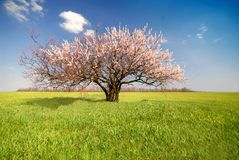 Apricot Tree, Day Royalty Free Stock Photos