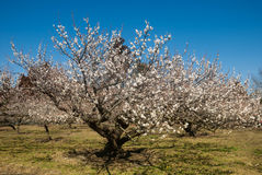 Apricot tree, day Stock Photo