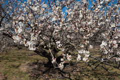Apricot tree, day Stock Image
