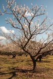 Apricot tree, day Stock Images