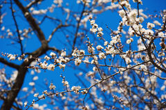 Apricot tree flower. Against blue sky, seasonal floral nature background Stock Photos