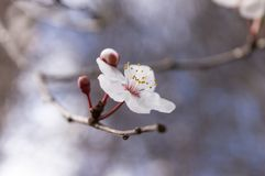 Apricot tree flower with buds blooming at springtime royalty free stock photos