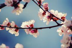 Apricot tree flower stock photography