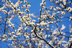 Apricot tree flower Royalty Free Stock Image