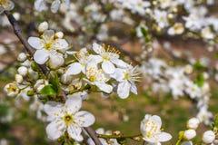 Apricot tree flower Royalty Free Stock Photo