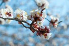 Apricot tree flower Royalty Free Stock Photos