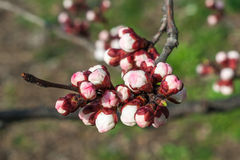 Apricot tree flower Royalty Free Stock Images