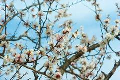 Apricot tree flower Stock Photo
