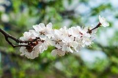 Apricot tree flower Stock Image