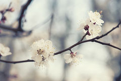 Apricot tree flower Stock Photos