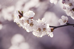 Apricot tree flower Stock Images