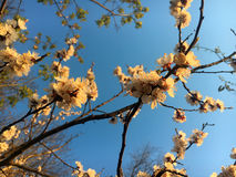 Apricot tree flower in spring Stock Photography