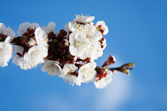 Apricot Tree Flowers Stock Photos